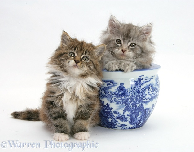 Maine Coon kittens playing with a blue china pot, white background