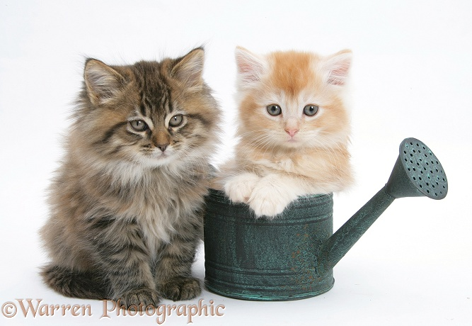 Maine Coon kittens in a small watering can, white background