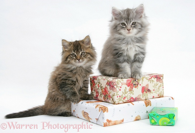 Maine Coon kittens sitting on birthday presents, white background
