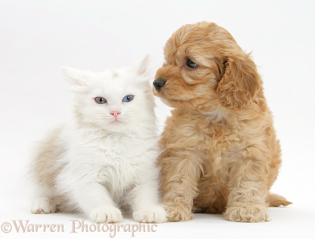 Birman x Ragdoll kitten, Willow, 11 weeks old, with golden Cockapoo pup, 6 weeks old, white background