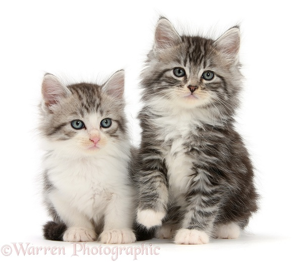 Maine Coon-cross kittens, 7 weeks old, white background