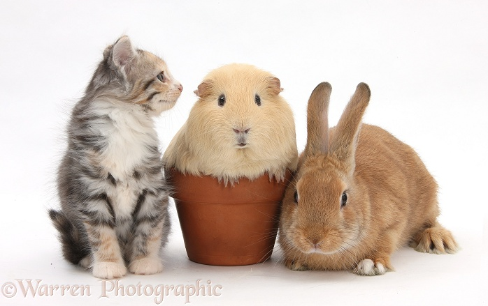 Rabbit and kitten with Guinea pig in a flowerpot