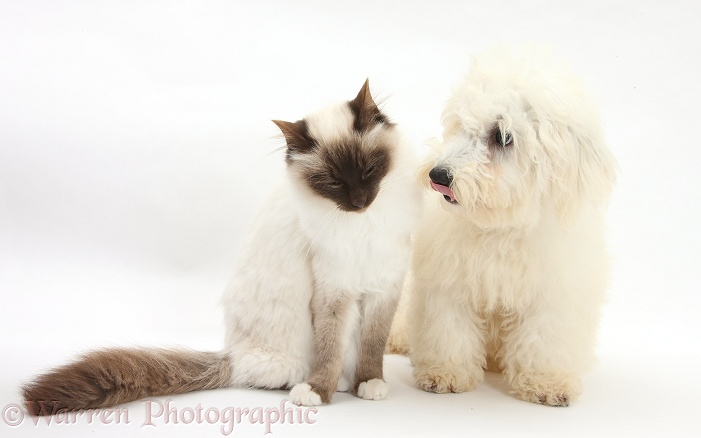 Bichon Frise dog, Louie, 5 months old, with a Birman cat, white background