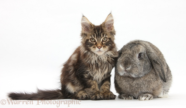 Tabby Maine Coon kitten, Logan, 12 weeks old, with agouti Lop rabbit, white background