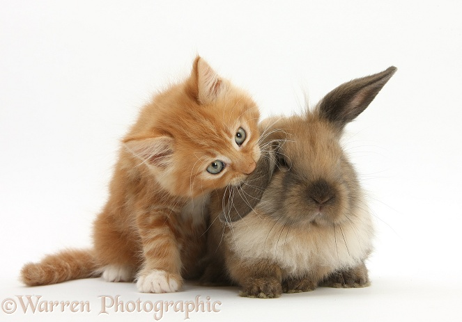 Ginger kitten, Butch, 7 weeks old, and young Lionhead-Lop rabbit, white background