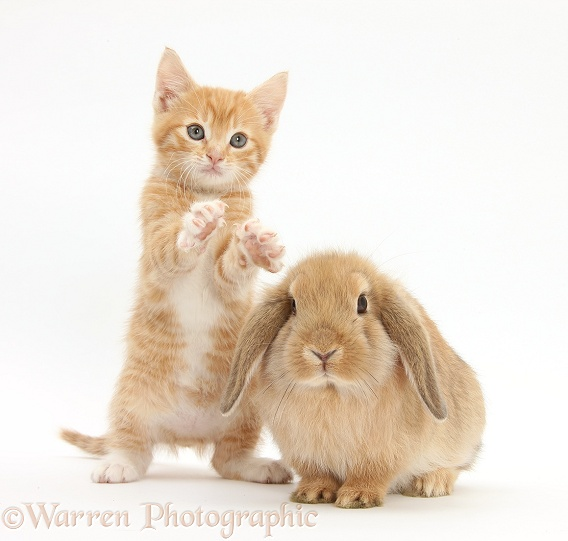 Ginger kitten, Tom, 7 weeks old, and young sandy Lop rabbit, white background