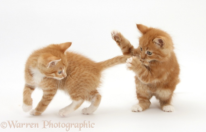 Ginger kittens, Tom and Butch, 7 weeks old, play-fighting, white background