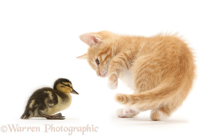 Ginger kitten, Tom, 8 weeks old, and Mallard duckling, white background