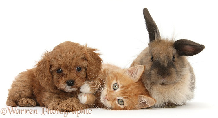 Ginger kitten, Butch, 9 weeks old, with Cavapoo pup and Lionhead rabbit, white background
