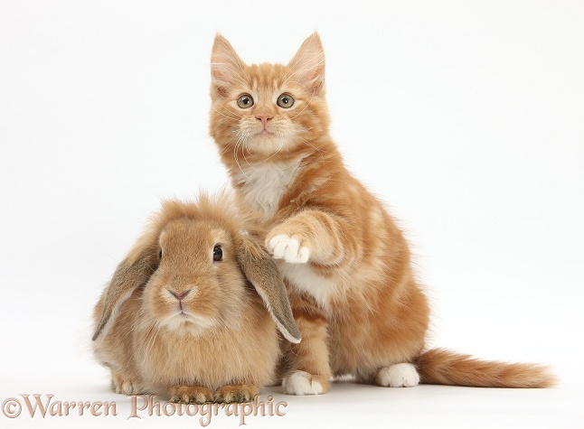 Ginger kitten, Butch, 11 weeks old, and young Sandy Lop rabbit, white background