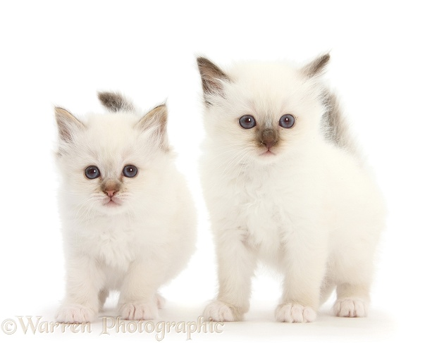 Two colourpoint kittens, white background