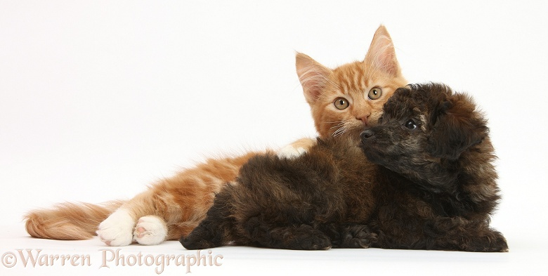 Ginger male kitten, Butch, 3 months old, and red brindle Toy Poodle pup, white background