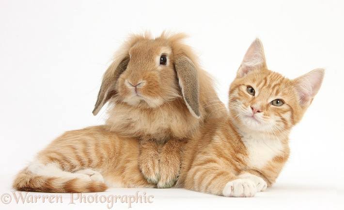 pets ginger kitten lying with sandy lionhead rabbit photo