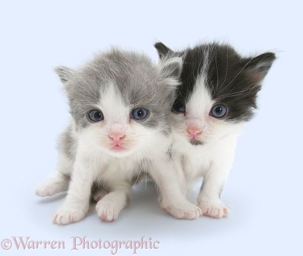 Grey-and-white and black-and-white little kittens, white background