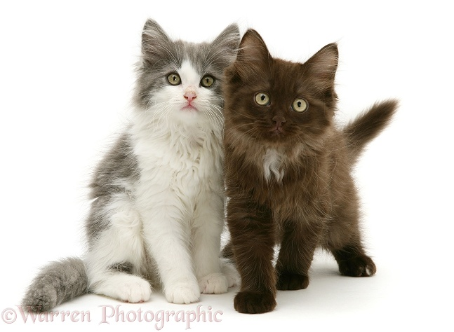 Grey-and-white and Chocolate Persian-cross kittens photo - WP31101