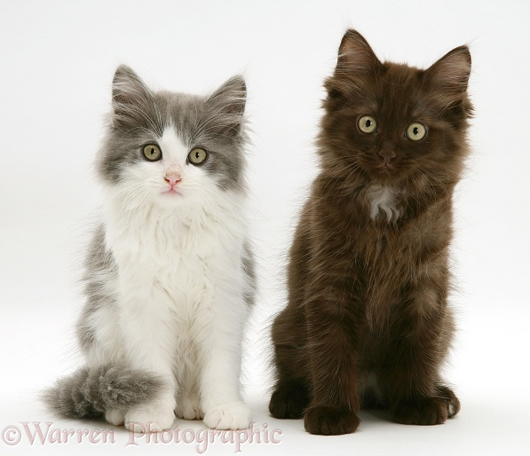 Persian-cross blue-bicolour and chocolate Nancy kittens, white background