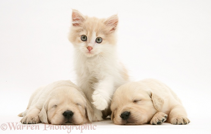 Kitten between sleepy Golden Retriever pups