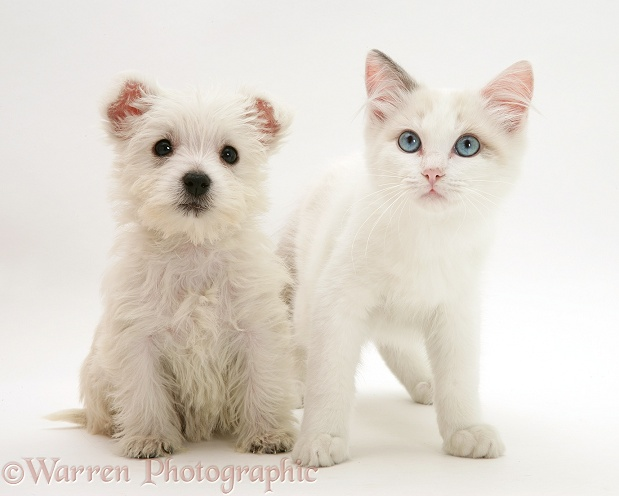 Ragdoll kitten with West Highland White Terrier pup, white background