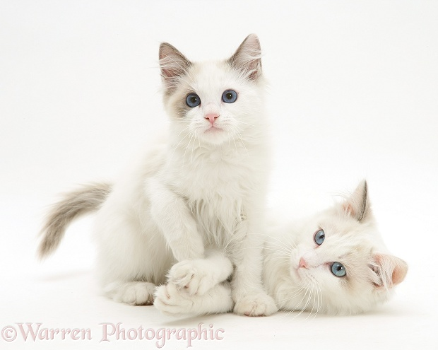 Ragdoll cat and kitten, white background