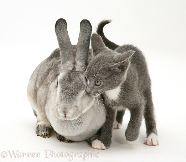 Silver Rex doe rabbit with blue-and-white Burmese-cross kitten, Levi, white background