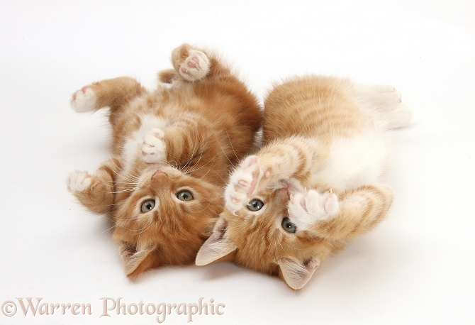 Two ginger kittens, Tom and Butch, 8 weeks old, lying together on their backs, white background