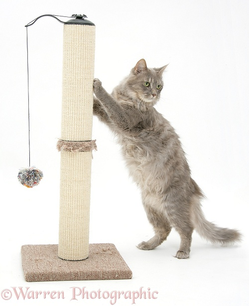 Maine Coon female cat, Serafin, using a scratch post, white background