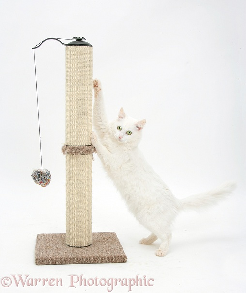 White Maine Coon-cross cat, Melody, using a scratch post, white background