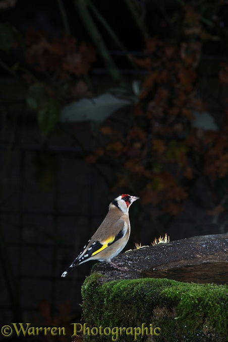 Goldfinch (Carduelis carduelis) drinking from birdbath