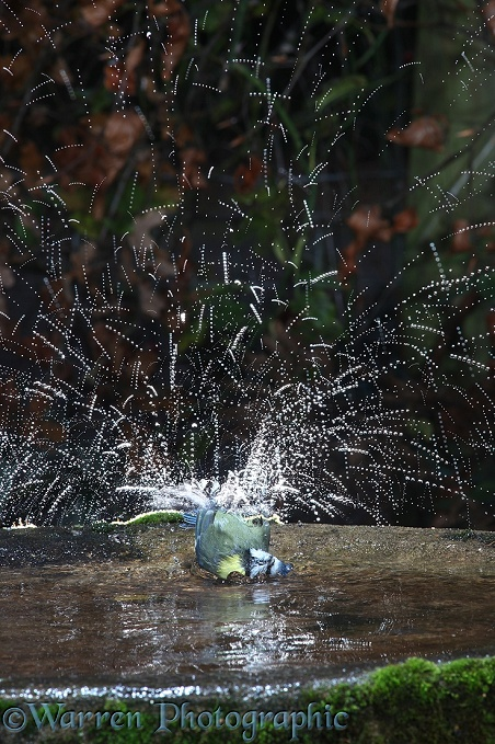 Blue Tit (Parus caeruleus) bathing lit by strobe lighting