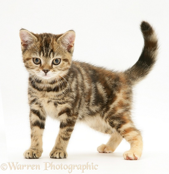 British Shorthair tabby-tortoiseshell kitten, Tiger Lily, standing, white background