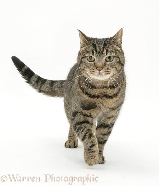 WP31164 Brown Spotted British Shorthair male cat, Lowlander , walking ...