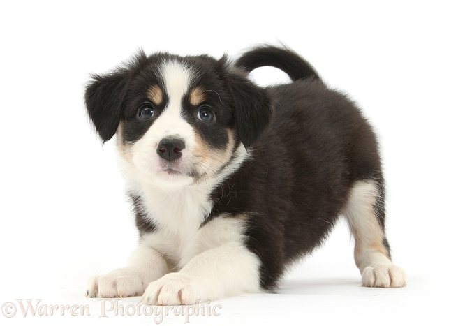 Tricolour Border Collie pup in play-bow, white background