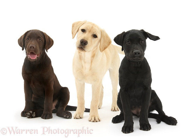 Yellow, Chocolate and Black Labrador Retriever pups, white background