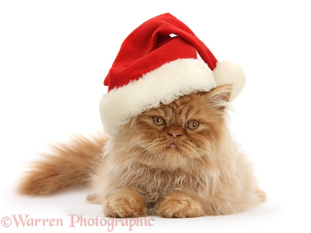 Ginger Persian male kitten, Jeffrey, 15 weeks old, wearing a Father Christmas hat, white background