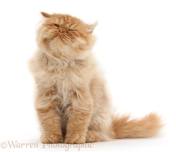 Ginger Persian male kitten, Jeffrey, 15 weeks old, sitting and shaking his head, white background