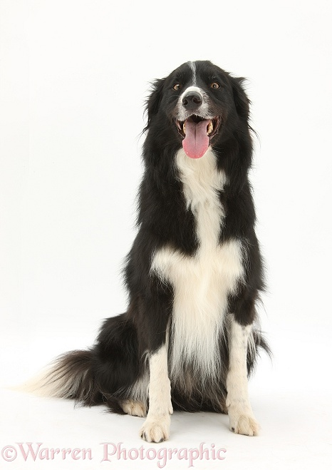 Black-and-white Border Collie, sitting