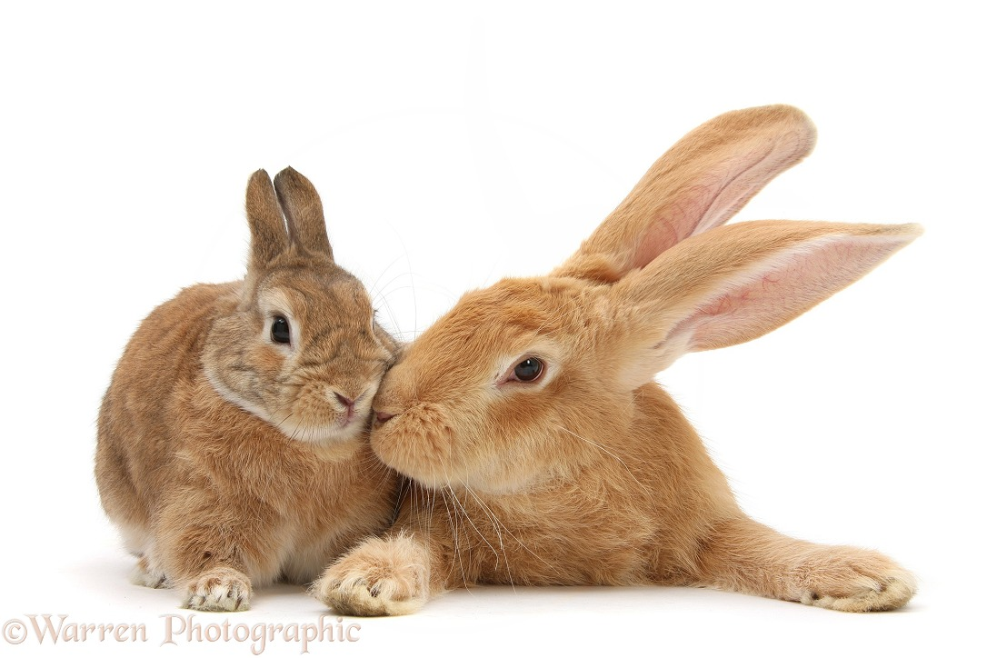 Flemish Giant Rabbit, Toffee, and Netherland dwarf-cross rabbit, Peter, white background