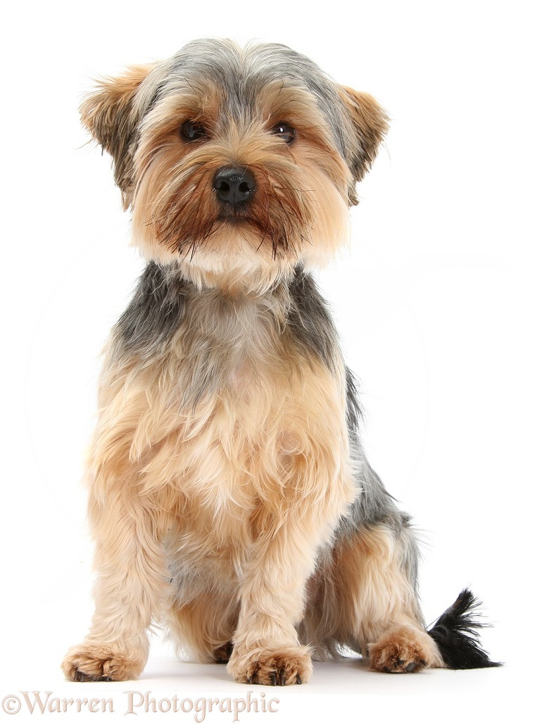 Yorkshire Terrier dog, Dillon, 16 months old, white background
