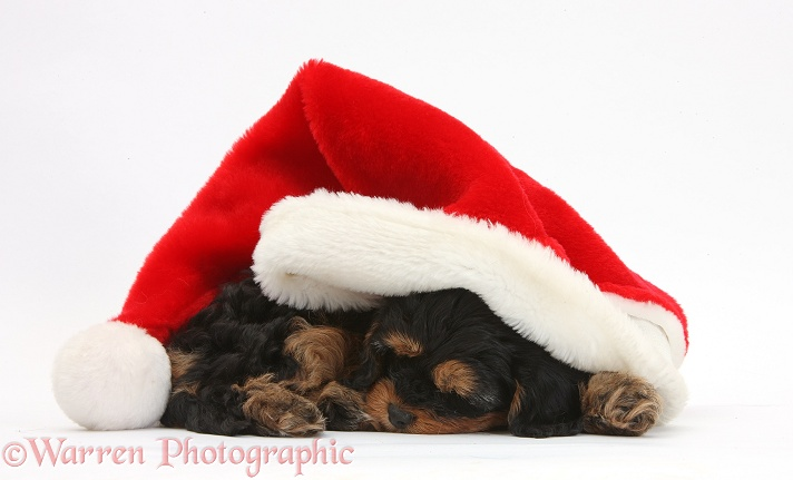 Sleeping black-and-tan Cavapoo pup in a Father Christmas hat, white background