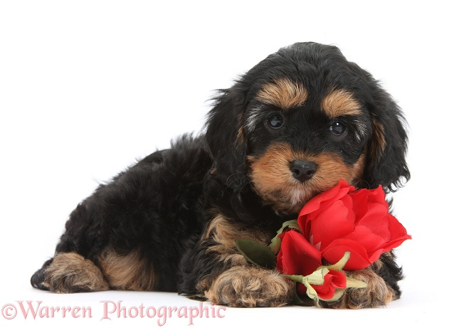 Cavapoo pup with a red rose, white background