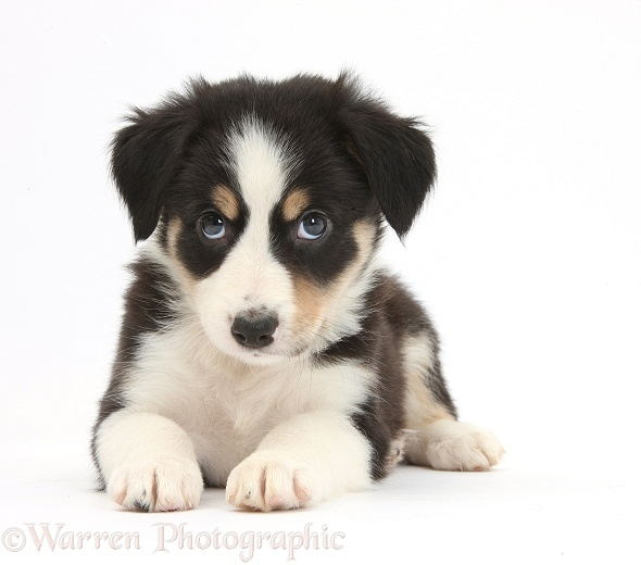 Tricolour Border Collie pup, white background