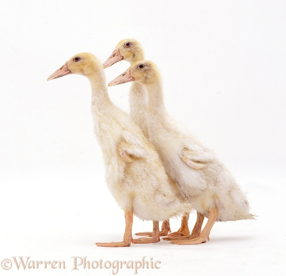 Two Indian Runner ducks, 4 weeks old, white background