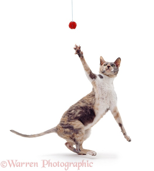 Blue-tortoiseshell Cornish Rex cat, Faberge, reaching for a toy, white background