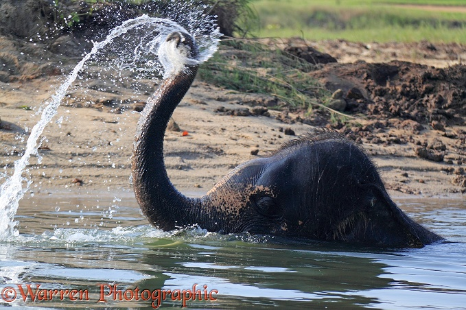 Asian Elephant (Elephas maximus) taking a bath.  Thailand