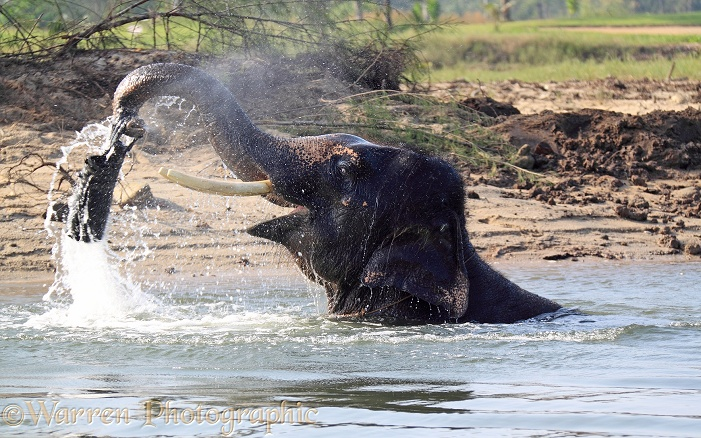 Asian Elephant (Elephas maximus) taking a bath and playing with a toy.  Thailand