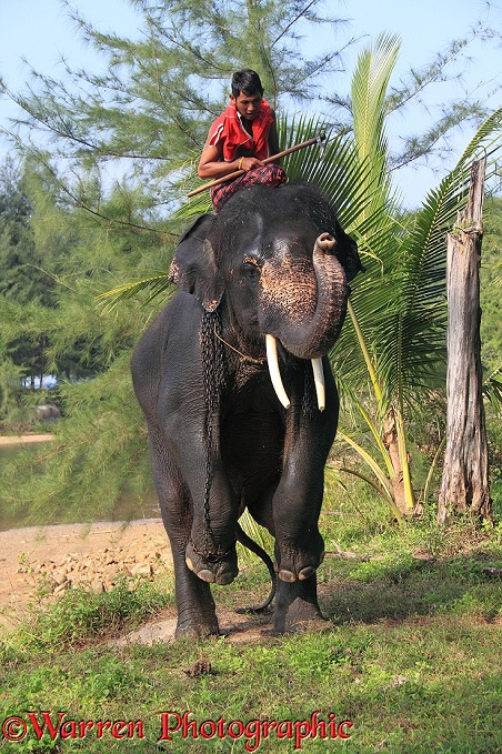 Mahout, getting his elephant to perform a trick.  Thailand
