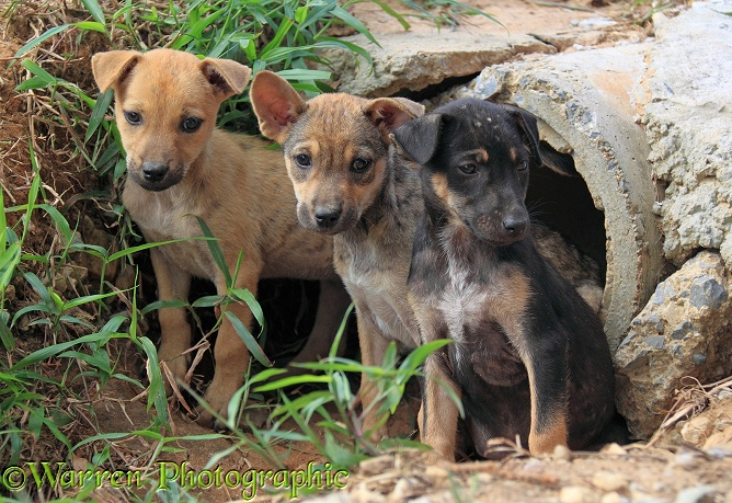 Stray puppies outside their drain pipe hide away.  Thailand