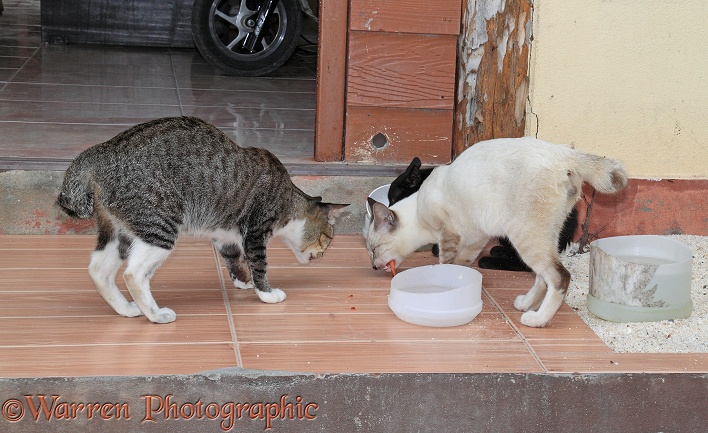 Stray 'club-tailed' cats eating scraps from a plastic bowl.  Koh Phi Phi, Thailand