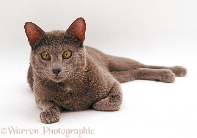 Blue Siamese Burmese cross male cat, Del, white background
