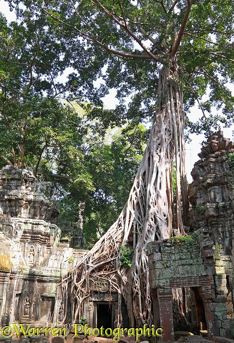 Tree roots growing on Ta Prohm Temple.  Angkor, Cambodia